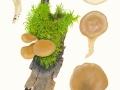 Pleurotus cornucopiae (Paulet & Pers.) Rolland , Rillstieliger Seitling