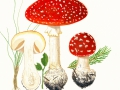 Amanita muscaria  (L.) Pers. var. muscaria, Roter Fliegenpilz