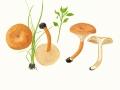 Clitocybe sinopica (Fr: Fr..) Kumm. , Ziegelroter Trichterling , Kohlen-Trichterling ,  NPH