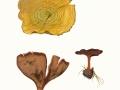Coltricia perennis  (L.) Murrill , Gebänderter Dauerporling