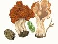 Gyromitra esculenta (Pers.) Fr. , Frühjahrs-Giftlorchel