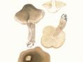 Tricholoma saponaceum (Fr.) Kumm. , Seifenritterling