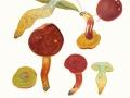 Hortiboletus rubellus (Krombh.) Simonini, Vizzini & Gelardi , Blutroter Röhrling