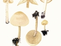 Agrocybe praecox (Pers.:Fr.) Fayod , Frühlings-Ackerling