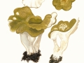 Albatrellus cristatus (Schaeff.:Fr.) Kotl. & Pouzar , Gelbgrüner Kamm-Porling