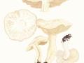 Clitocybe rivulosa (Pers.) Kumm. , Rinnigbereifter Gift-Trichterling , Bleiweißer Wiesen-Trichterling