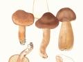 Tricholoma imbricatum (Fr.: Fr.) Kumm. , Feinschuppiger Ritterling