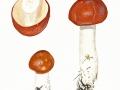 Russula paludosa Britz. , Apfel-Täubling