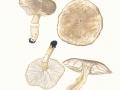 Tricholoma cingulatum (Almfelt) Jacobasch var. cingulatum  , Beringeter Ritterling