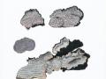Columnocystis abietinus (Pers.:Fr.) Pouzar , Blaugrauer Fichtenschichtpilz