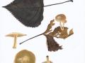 Pholiota oedipus (Cooke) P.D.Orton , Winter-Schüppling