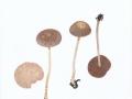 Psathyrella bipellis (Quél.) A.H.Sm. , Purpur-Mürbling