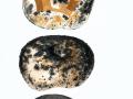 Russula pallidospora (J.Blum in Romagn.) Romagn. , Ockerblättriger Weiß-Täubling , Gelbblättriger Täubling