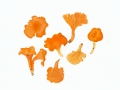 Cantharellus friesii Quél. , Samtiger Pfifferling , Fries'scher Pfifferling