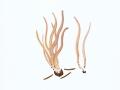 Clavaria fumosa  Pers.: Fr. , Rauchgraues Keulchen , NPH