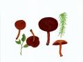 Cortinarius (Derm.) sanguineus  (Wulfen:Fr.) Fr. var. sanguineus , Blutroter Hautkopf , NPH