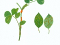 Phragmidium mucronatum (Pers.) Schltdt. , Rosenrost