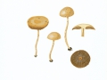 Agrocybe pediades (Fr.) Fayod , Raustieliger Ackerling , NPH