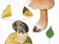 Boletus betulicolus (Vassilkov) Pilát & Dermek , Birken-Steinpilz