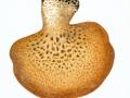 Polyporus squamosus (Huds.:Fr.) Fr. , Schuppiger Porling