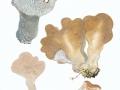 Pseudohydnum gelatinosum (Scop.:Fr.) Karst. , Gallertartiger Zitterzahn , Zitterzahn , Eispilz