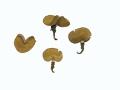 Sowerbyella radiculata (Sowerby:Fr.) Nannf. , Ockergelber Wurzelbecherling