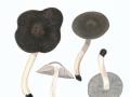 Tricholoma terreum (Schaeff.) Kumm.  agg., Gemeiner Erd-Ritterling