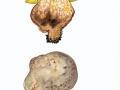 Butyriboletus fechtneri  (Velen.) D.Arora & J.L.Frank  , Silber-Röhrling , Sommer-Röhrling , NPH