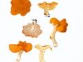 Hydnum rufescens Fr. , Rotgelber Semmel-Stoppelpilz ,  NPH