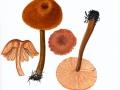 Laccaria proxima (Boud.) Pat. , Fuchsiger Lacktrichterling