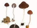 Psathyrella fagetophila Örstadius & Enderle , Buchenlaub-Faserling