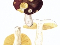 Russula romellii  Maire , Weißstieliger Leder-Täubling , NPH