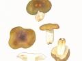 Russula spec. ,  NPH