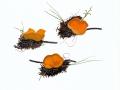 Aleuria scotica (Graddon) J.Moravec , Orangefarbener Kurzhaarborstling , NPH