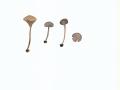 Camarophyllopsis foetens (W. Phillips ex Berk. & Broome) Arnolds , Stinkender Samtschneckling