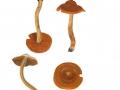 Cortinarius  (Derm.) sommerfeltii  Hoil. , Orangeblättriger Hautkopf , NPH