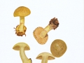 Cortinarius (Phleg.) citrinus,Rob. Henry ex P.D. Orton , Grünlings-Klumpfuß , Zitronengelber Klumpfuß , NPH