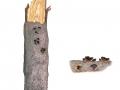 Encoelia fascicularis (Alb. & Schwein.) Karst. , Schwarzbrauner Pappelbecherling