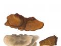 Inonotus cuticularis (Bull.:Fr.) Karst. , Flacher Schillerporling , NPH