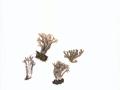 Ramaria fennica (Karst.) Ricken s.l. , Gelbrußige Koralle