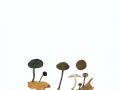 Simocybe centunculus  (Fr.:Fr.) Karst. , Kleinsporiger Olivschnitzling , NPH