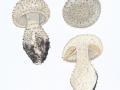 Amanita echinocephala (Vittad.) Quél. , Igel-Wulstling