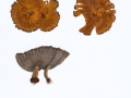 Coltricia cinnamomea (Jaquin) Murrill , Zimtfarbener Dauerporling