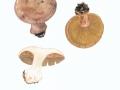 Cortinarius (Phleg.) spec.