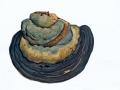 Ganoderma pfeifferi Bres. , Kupferroter Lackporling , NPH