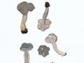 Helvella phlebophora Pat. & Doass. , Rillstielige Lorchel ,  NPH