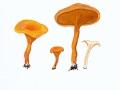 Hygrophoropsis  aurantiaca (Wulfen:Fr.) Maire , Falscher Pfifferling , Orangefarbener Afterleistling