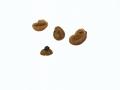Peziza granularis Donaldini , Granuliertrandiger Becherling