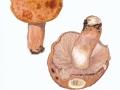 Russula illota Romagn. , Morse-Täubling ,  NPH