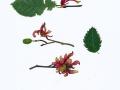 Taphrina alni  Berk. & Broome, Erlenzapfen-Wucherling , NPH